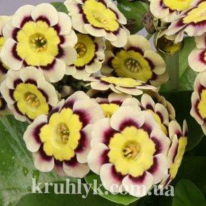 watermarked - Primula Auricula-Hybride 'Stanzerl