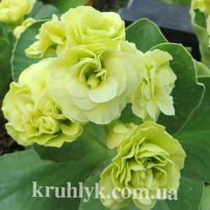 watermarked - Primula auricula Berti