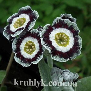 watermarked - Primula auricula alois