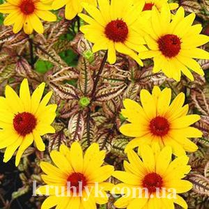 watermarked - heliopsis summer pink