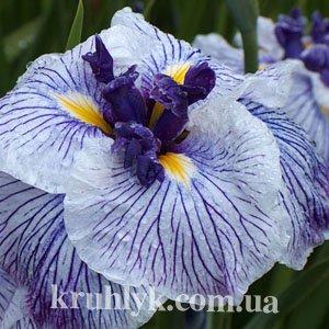 watermarked - iris ensata 'Caprician Butterfly'