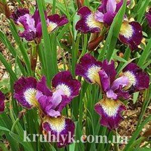 watermarked - iris sibirica 'Contrast in Styles1