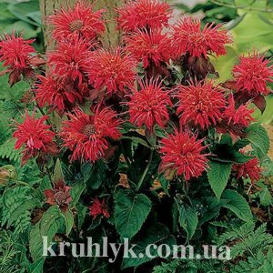 watermarked - monarda fireball