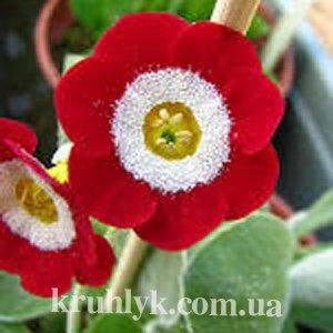 watermarked - Primula auricula Basti