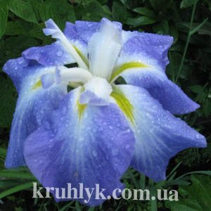 watermarked - Iris enstata Lady in waitinng 2