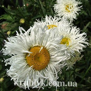 watermarked - LEUCANTHEMUM Shapcott Ruffles