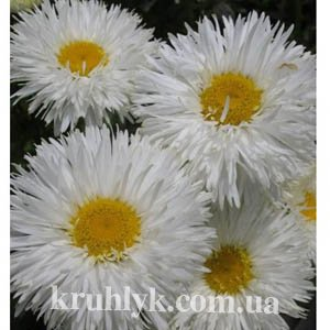 watermarked - Leucanthemum superbum Shapcott Summer Clouds