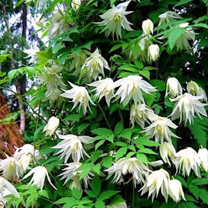 Клематис ботанический Альбина Плена