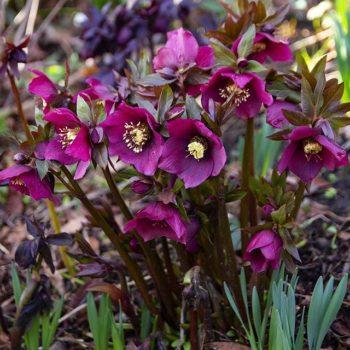 helleborus pretty ellen red1