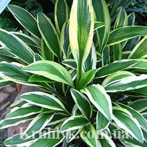 watermarked - hosta rectifolia chionea