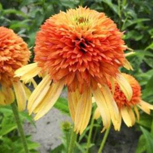 Echinacea Rhytmes in Orange