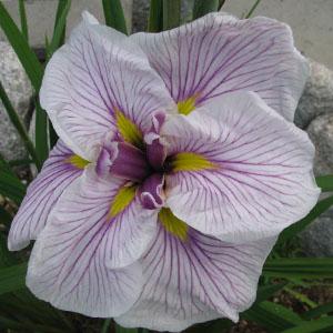 Iris Ensata Greywoods Catrina 1