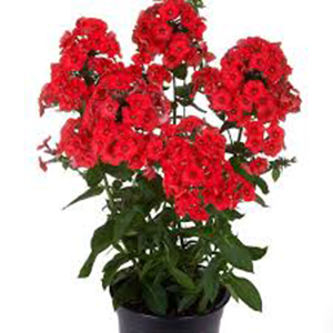 phlox flame red