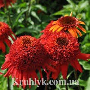 watermarked - Echinacea Sweet Chili®