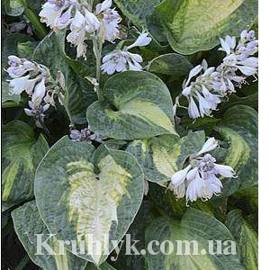 watermarked - Hosta Alligator Alley 1