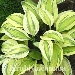 watermarked - Hosta Captain's Adventure 1