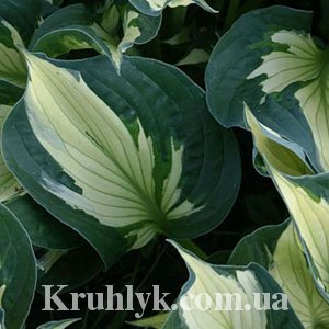 watermarked - Hosta Colored Hulk