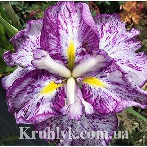 watermarked - Iris Ensata Harlequinesque