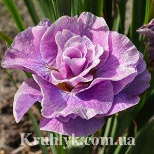 watermarked - Iris Sibirica Pink Parfait