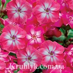 watermarked - Phlox pan, Lizzy3
