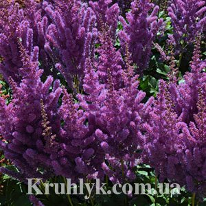watermarked - astilbe black pearls