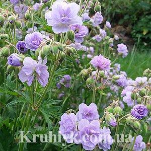 watermarked - byliny-i-trawy_pratense_72022_4