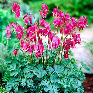 Dicentra formosa 'Kings of Hearts