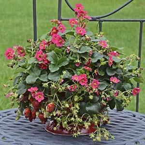 Strawberry TRISTAN CHERRY1