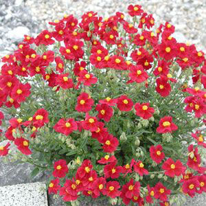 Helianthemum hybride 'Red Orient