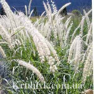 watermarked - Pennisetum or. 'Tall Tails'04
