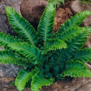 Asplenium scolopendrium Undulatum 2