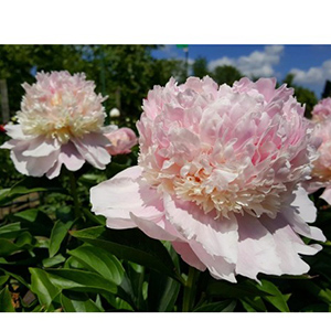 Paeonia Angel Cheeks