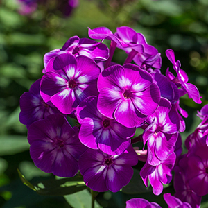EHF43P Phlox paniculata (Garden phlox) in bloom on the sunny day
