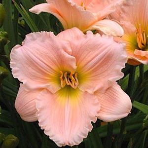Лилейник крупноцветковый Барбара Митчелл
