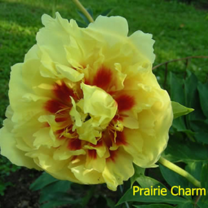 Peony 'Prairie Charm1