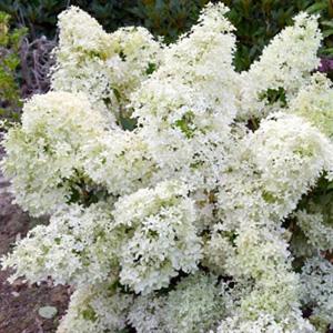 Hydrangea paniculata 'Dentelle de Gorron