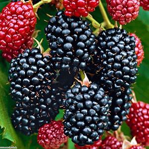 Rubus fruticosus Thornfree