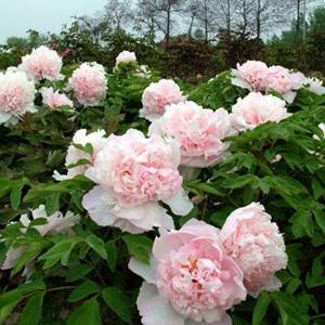 Tree peony Shining Zhao Fen Zhao's Pink