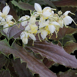 Epimedium wushanense 'Nova Spiny Leaved Form'5