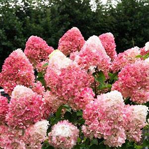 Hydrangea paniculata Pinky Promise1