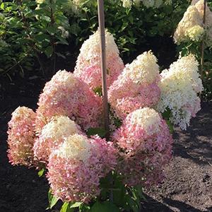 Hydrangea paniculata `Royal Flower2