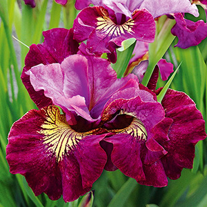 Iris sib. 'Miss Apple'4