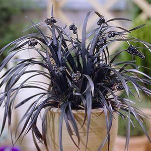 Ophiopogon Black Dragon1
