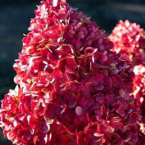 hydrangea paniculata pink and rose