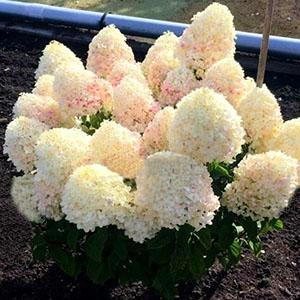 hydrangea paniculata sugar rush