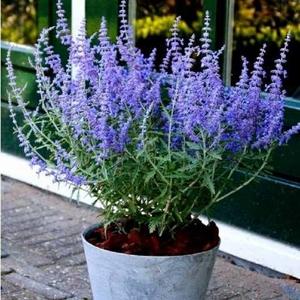 перовские lacey blue 2