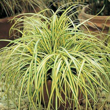 Carex oshimensis Evergold 1