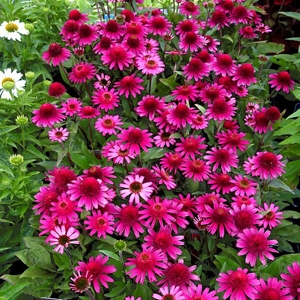 Echinacea Delicious Candy6