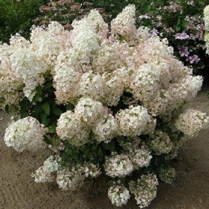 Hydrangea paniculata Bobo 1