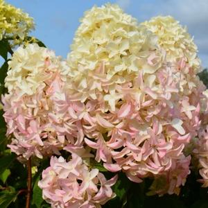 Hydrangea paniculata `Skyfall`